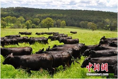 此次引进的澳洲活牛