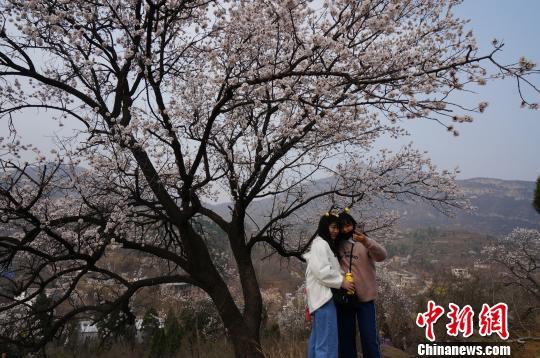 三月伏羲山,漫山遍野的野生杏花远观如云似雪,景色甚是美丽。 韩章云 摄