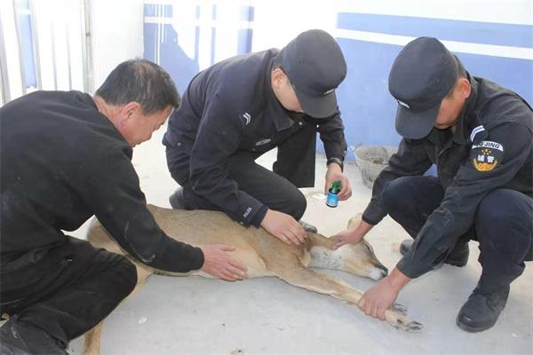 内蒙古铁警森警合力 救助国家二级保护动物狍子