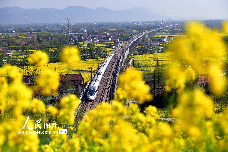陕西汉中:高铁列车穿行花海中